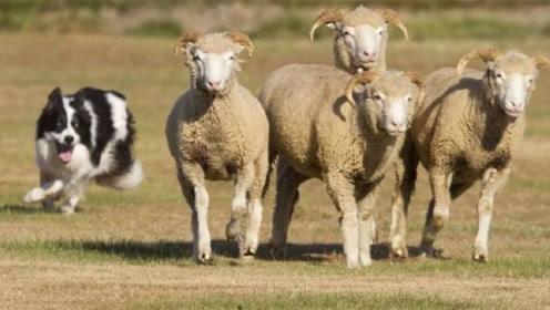 主人让狗狗放羊,谁知道它一觉醒来羊没了