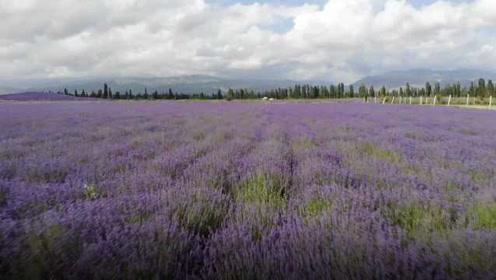 看薰衣草不用出国,新疆6万亩薰衣草田美到窒息