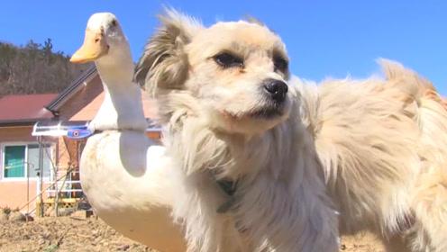 鸭子爱上了一条狗,狗狗这样对它,依然不离不弃,看了让人心疼!