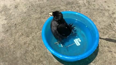 活了几十年了,第一次见小鸟洗澡!真是长见识了!