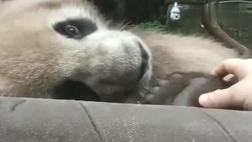 这只大熊猫也太乖了吧,非常的可爱!
