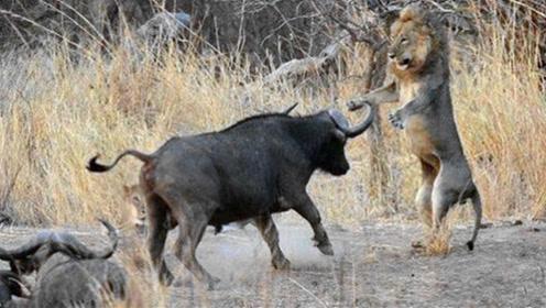 水牛追逐10头狮子救大象!牛群化身侠客,行侠仗义帮助弱势动物
