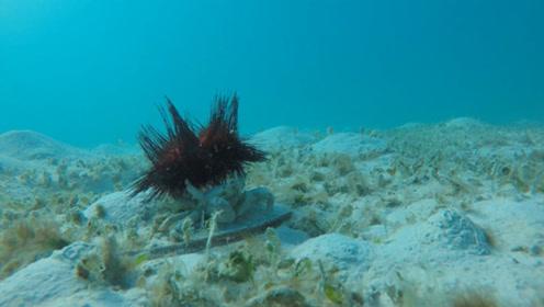 螃蟹拿海胆当盾牌,在海中横行霸道,无人敢招惹