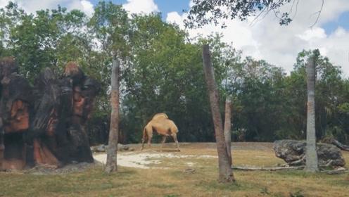 无头的骆驼竟然活动自如,如果不是闹乌龙,你会不会被吓到?