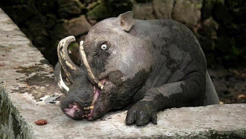 这种动物是猪却叫鹿,四根獠牙凶猛无比,却是用来碰瓷的!