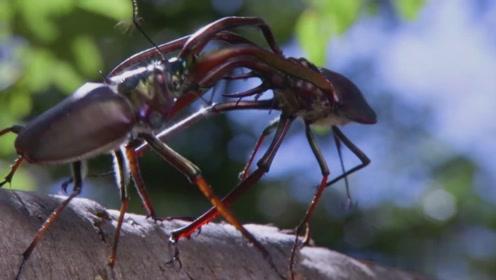 两只雄鹿甲虫爬到百尺高的树上为爱而战,没想到结局令人唏嘘