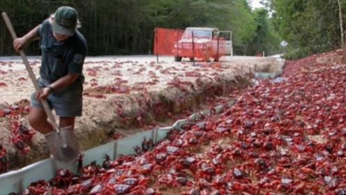 这群螃蟹太嚣张!不仅独占澳洲一岛屿,政府还派军队24小时护航