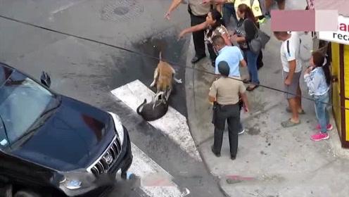 斗牛犬将二哈摁在街头暴揍,警察用电滚都不顶用