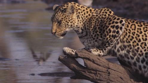 为了生存,美洲豹必须学会捕鱼,又肥又滑的鲶鱼胸鳍的硬刺很危险