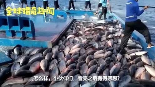 渔民传统钓法钓金枪鱼,碰到鱼群,场面超级震撼,难得一见!