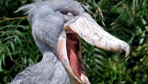 动物界长得最奇怪的鸟Top10,排名第2的就已经极度危险!