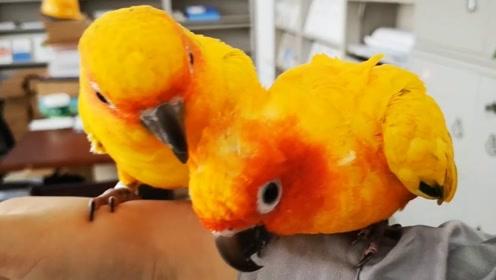 两只听话的鹦鹉,在零食诱惑下不停转圈圈,飞行喜欢落在手机上?