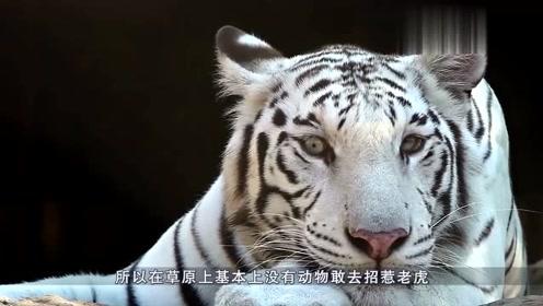 老虎黑熊打架,黑熊突然发怒,网友:百兽之王的面子怕是没地搁