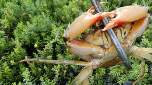 虎子午后赶海,草堆是螃蟹的栖息地,连抓几只螃蟹后,突然下大雨