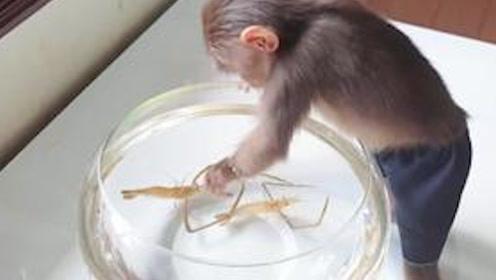 主人买来两只虾逗猴子,没想到猴子直接上嘴了,猴子:味道不错!