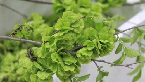 农村一种长在树上的野菜,虽然不起眼,却卖到十几块钱一斤