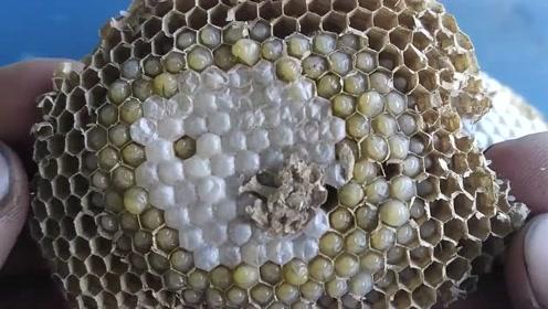 从地下挖出蜂窝,取出的蜂蛹可以炒一盘,够喝上两盅了