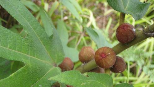 农村植物,五指毛桃煲汤常喝,但它有哪些功效你知道吗?