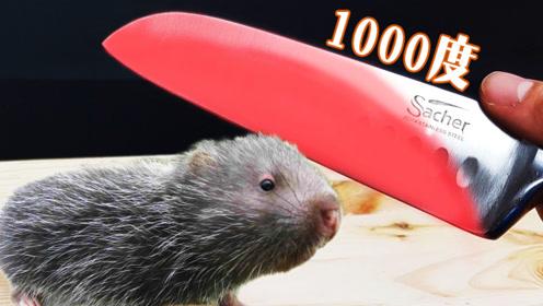 1000度的刀切竹鼠会怎么样?