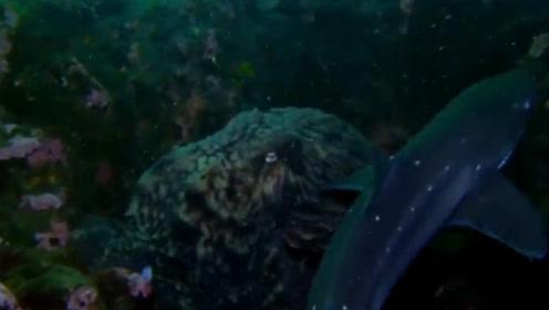 北冰洋巨型章鱼捕食大白鲨 海洋霸主毫无反击之力被吃掉