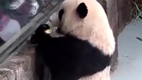 大熊猫向游客炫耀自己的苹果,马上就乐极生悲,下一秒忍住别笑