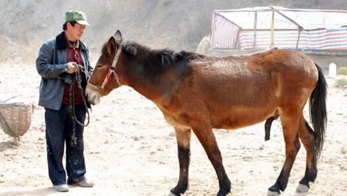 为什么骡子不能生育后代?驴和马到底做了啥事!网友:心疼骡子