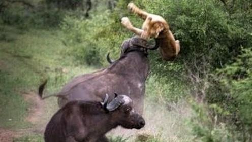 狮群围攻水牛,直接被群殴暴揍一下被顶飞,镜头记录惨烈全程