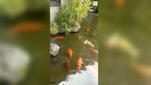 花园的锦鲤太漂亮,围观的人们都不舍得离开