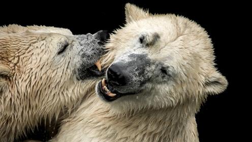 气候变暖令北极熊上岸时间提早 与人类偶遇机会增加