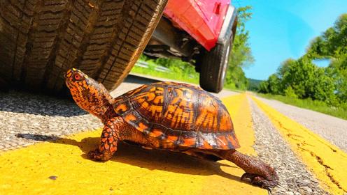 老外发现公路上有只乌龟,一脚刹车下去,意想不到的事情发生了