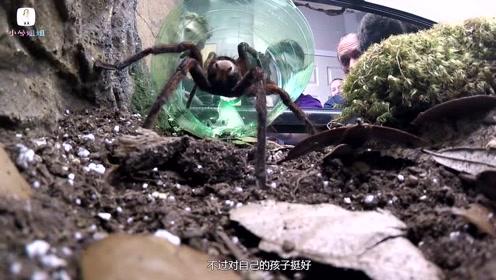 世界上最大的蜘蛛,巨型狼蛛最大,那它到底能有多大?