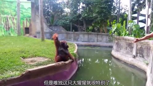 外国动物园的大猩猩走红,这只大猩猩有超能力,这是真的吗?