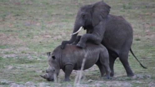 """太离奇!公大象竟逞强和母犀牛""""恩爱""""!公犀牛在一旁哭晕"""