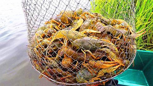专业抓小龙虾的人技术有多高?跟着镜头了解一下