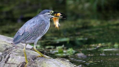 世界上最有头脑的鸟,捕鱼方式相当另类,看完你都不敢信