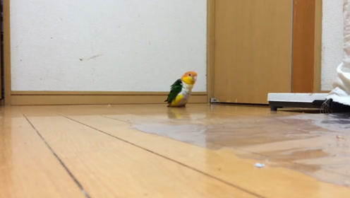 主人出去散步不带鹦鹉,关在家中的它太无聊,只好模仿主人散步