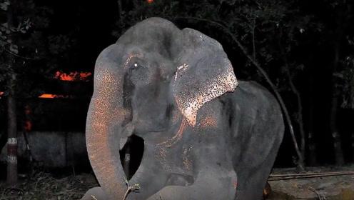 大象被铁链囚禁50年,获救之后做出让人震惊举动,真是令人感动