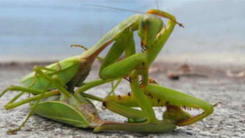 """母螳螂为何""""吃夫""""?原来不是为了下一代,科学家给出合理解释!"""
