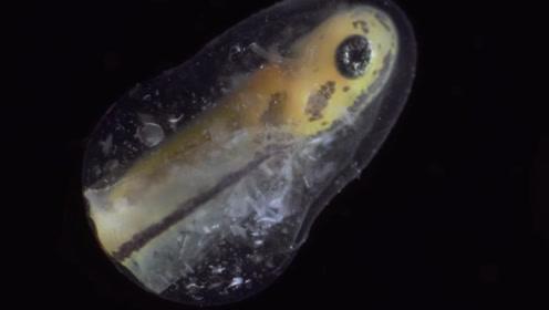 慢镜头下观看蝌蚪的孕育过程,从无到有,感叹大自然的神奇!