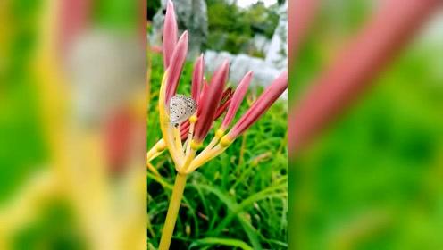 彼岸花,又名曼珠沙华。红得艳丽、红的惊人