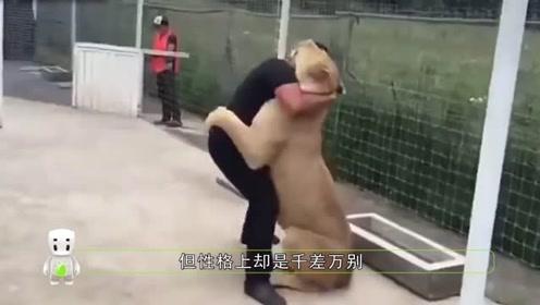 母狮扑到饲养员,接下来的举动亮了,网友:不愧是大哥的女人