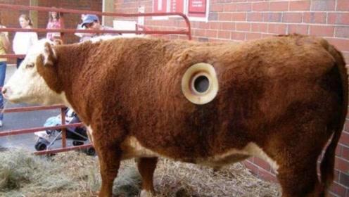 为啥美国的牛身上都有洞?养牛人说出残忍真相,听完心里五味陈杂