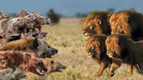 狮子大战鬣狗,一口秒杀不给鬣狗反抗机会,镜头拍下精彩一战!
