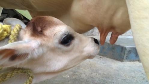 """第一个喝""""牛奶""""的人,究竟对奶牛做了什么?现场画面难以直视!"""
