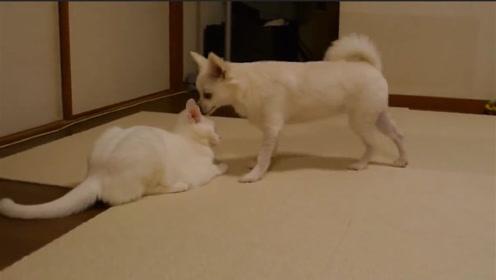 吉娃娃多次挑衅马恩岛猫,跟个狗皮膏药似的招惹猫咪,甩也甩不掉
