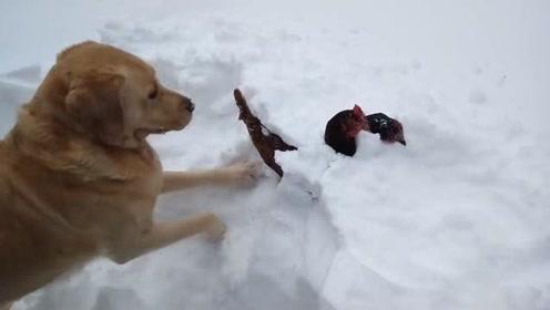 两只鸡被埋进雪地里,大金毛:大兄弟我来救你们