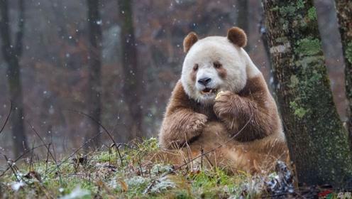 全球唯一的棕色大熊猫,从小被妈妈遗弃,如今在动物园生活幸福