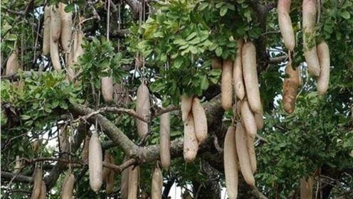 香蕉树深受非洲人民喜欢,为何被中国游客嫌弃?知情人说出真相!