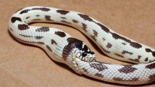 蛇为什么会咬自己的尾巴?当得知原因,以后遇到还是赶紧离开!