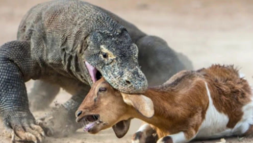 巨蜥捕杀水牛一招致敌,出手速度极快,画面慢动作回放震惊网友